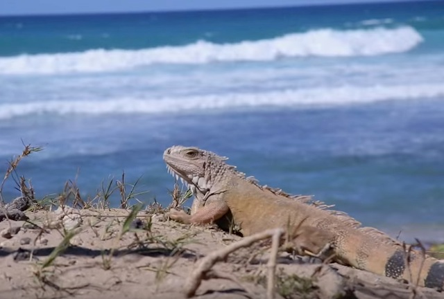news_bookertravels_iguana